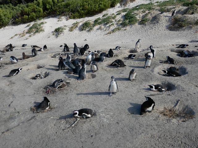 画像: 野生のペンギンが集まる『Boulders Beach』(2019年7月 担当者撮影)