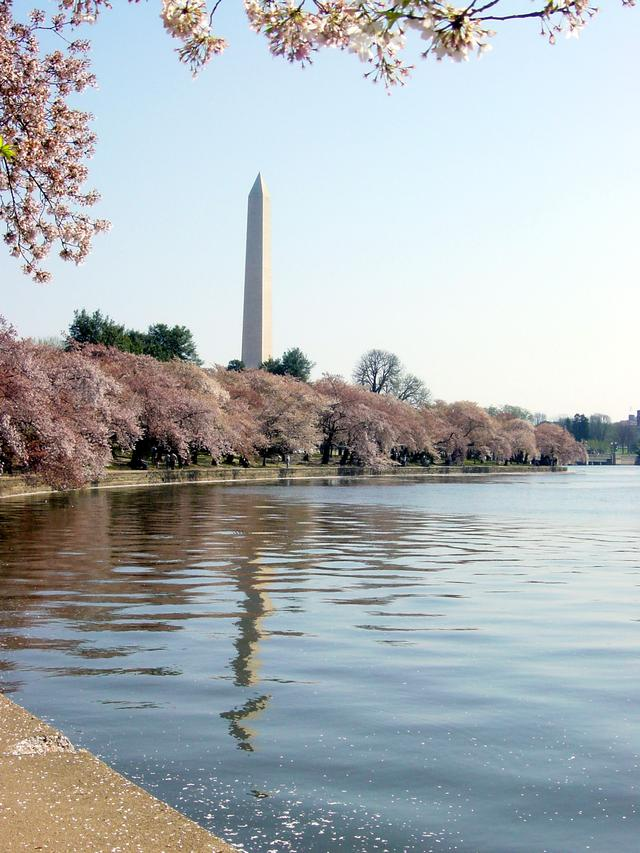 画像: ポトマック河畔の桜/イメージ ※例年の見ごろは3月下旬から4月上旬まで