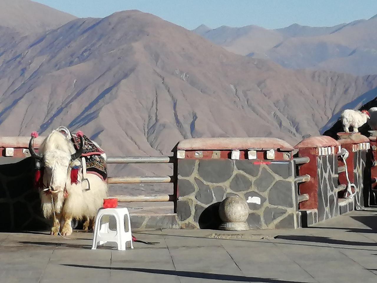 画像: 雅江河谷にいた観光用のヤク。近づいて写真を撮ると撮影料を請求される。