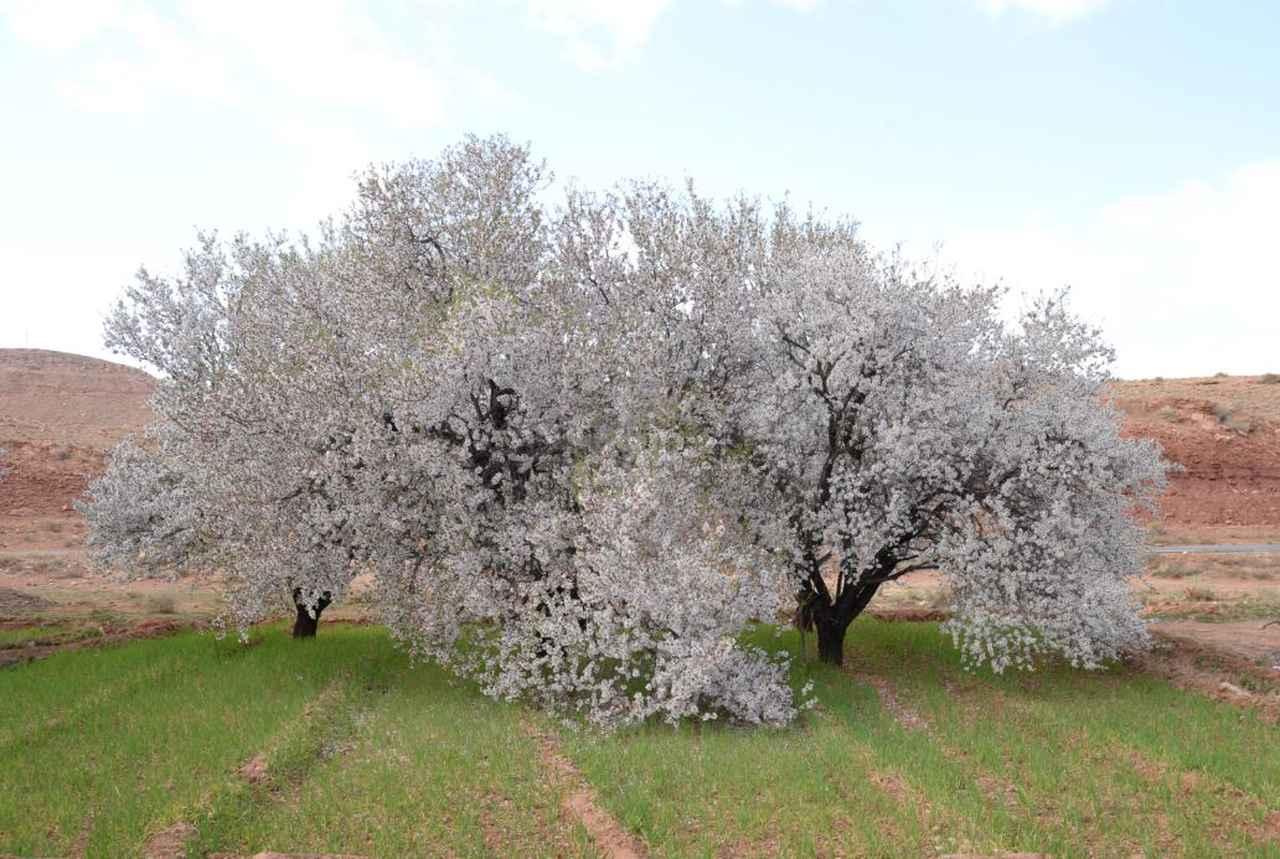 画像: 2~3月にかけて咲くアーモンドのお花 ※花の見ごろは気象条件などにより前後いたします。