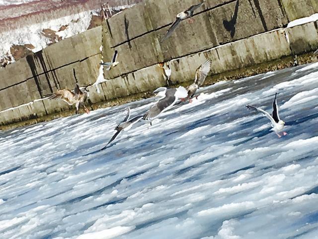 画像2: 世界的にも貴重な動物! オジロワシ・オオワシを流氷船に乗りながら羅臼へ見に行こう!