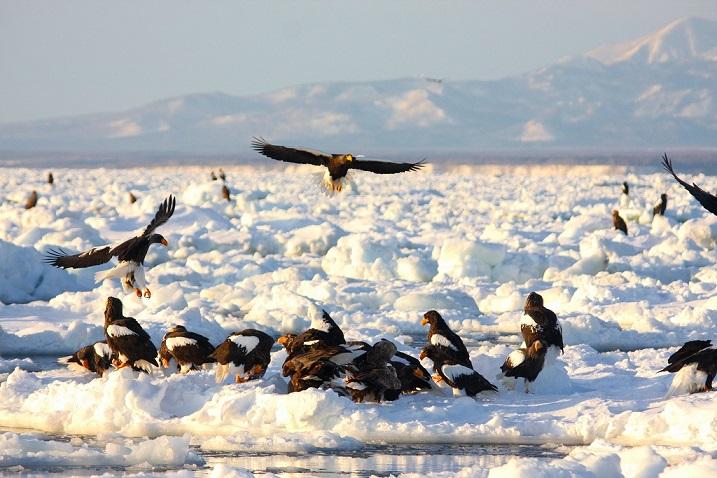画像1: 世界的にも貴重な動物! オジロワシ・オオワシを流氷船に乗りながら羅臼へ見に行こう!