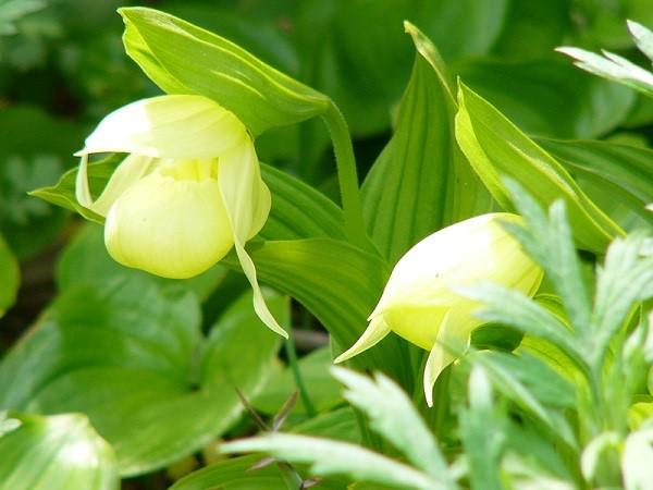 画像: 開花時にはレブンアツモリソウ群生地へご案内♪(見頃:5月下旬~6月中旬)