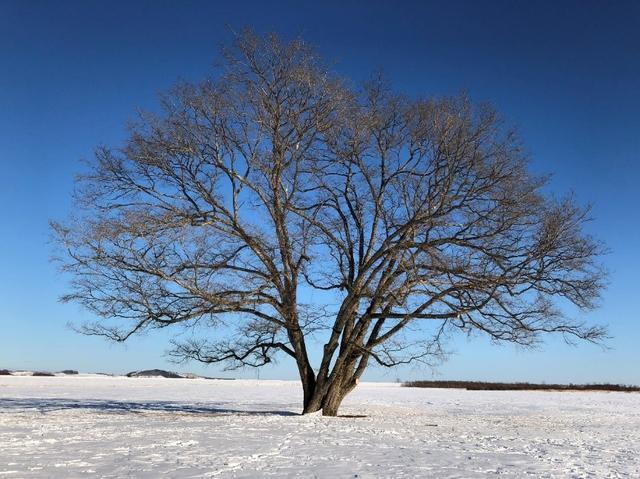 画像: 2日目 十勝・豊頃町 ハルニレの木