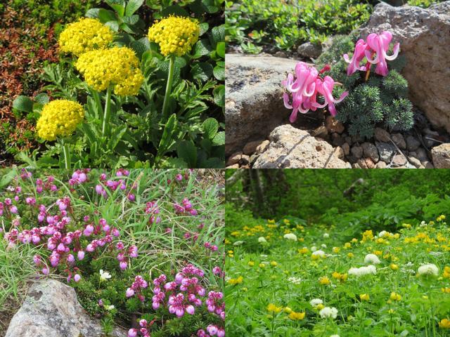 画像: 夏 の黒岳は高山植物の宝庫です。昨年、私が添乗にてお客様とご一緒した際の写真です♪