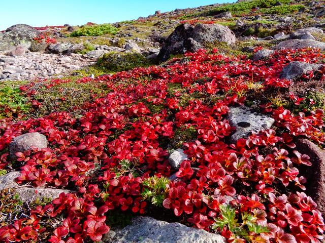 画像: 真っ赤に染まり始めたウラシマツツジ(9/3撮影提供:黒岳ロープウェイ)