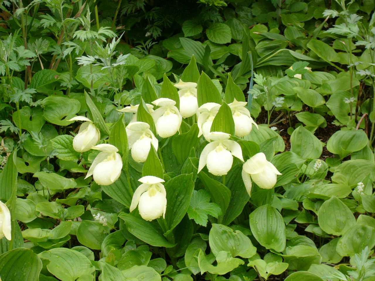 画像: 世界中でここにしか咲かない・・・礼文島の固有種「レブンアツモリソウ」は5月中旬~6月中旬の限られたシーズンのみ観賞できます。