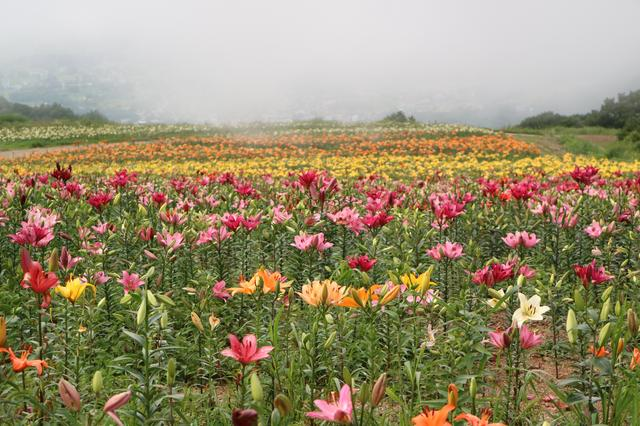 画像: H様が撮影したゆり園の様子。誰もいないゆり園を独り占め!
