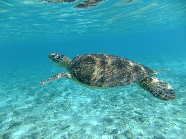 画像: 海を泳ぐ海がめ/ダイビングならではの景色です