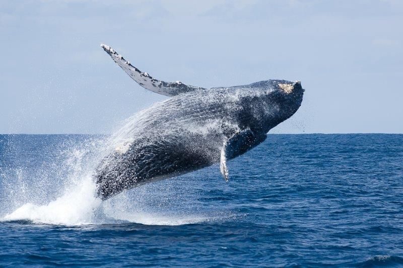 画像: ホエールウォッチング沖縄ツアー・旅行   クラブツーリズム