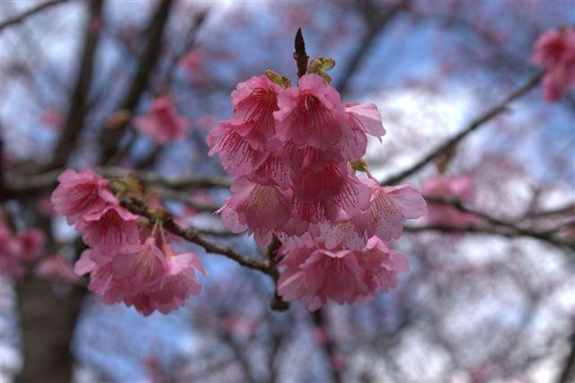 画像: 寒緋桜(イメージ)