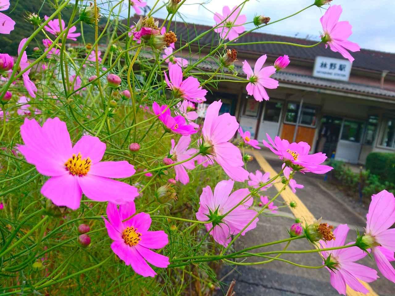 画像: 終点の林野は、レトロな駅舎と沢山のコスモスが咲く素敵な駅