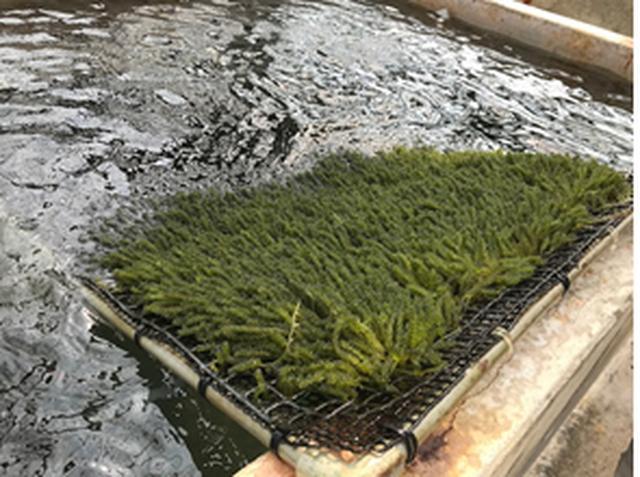 画像: 海ぶどう養殖場