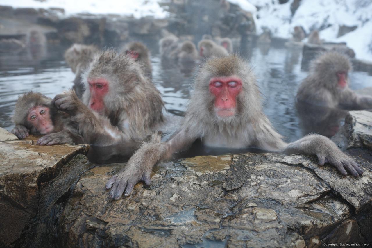 画像: ツアーでは『地獄谷野猿公苑』にもご案内。 ニホンザルの世界へ冬になると温泉に浸かりたいと思うと思います。それは人間に限ったことではありません。長野県にはこの時期ににしか見れない、世界にも珍しい『温泉に浸かるニホンザル』を見学できます。 jigokudani-yaenkoen.co.jp