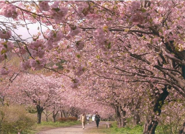 画像: 『五稜郭公園&松前公園 道南2つの桜名所めぐり 日帰り』|クラブツーリズム