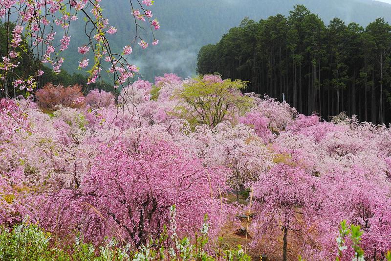 画像: 高見の郷 桜の見頃:例年4月上旬~中旬