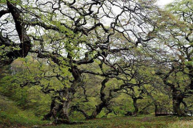 画像: 大朝のテングシネ 写真提供:広島県