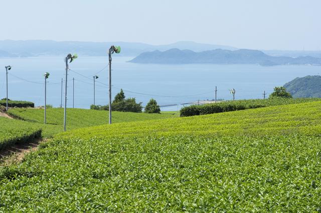 画像: 美しい八女の茶畑(イメージ)