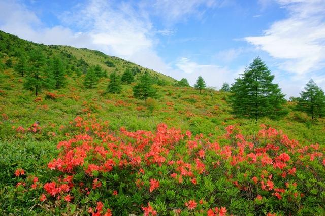 画像: 湯ノ丸山のレンゲツツジ(イメージ)