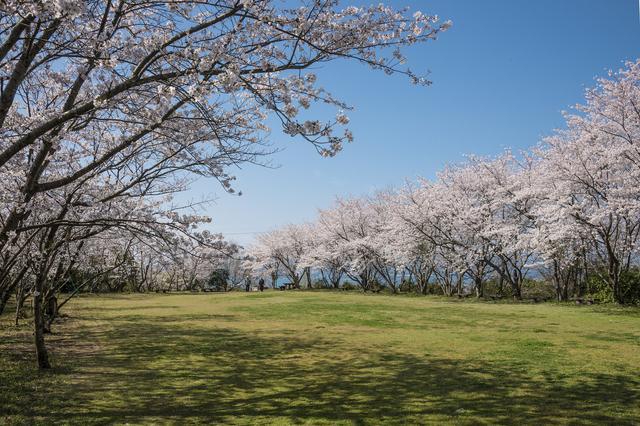 画像: 維和桜・花公園(上天草市提供/例年見頃は3月下旬~4月上旬)