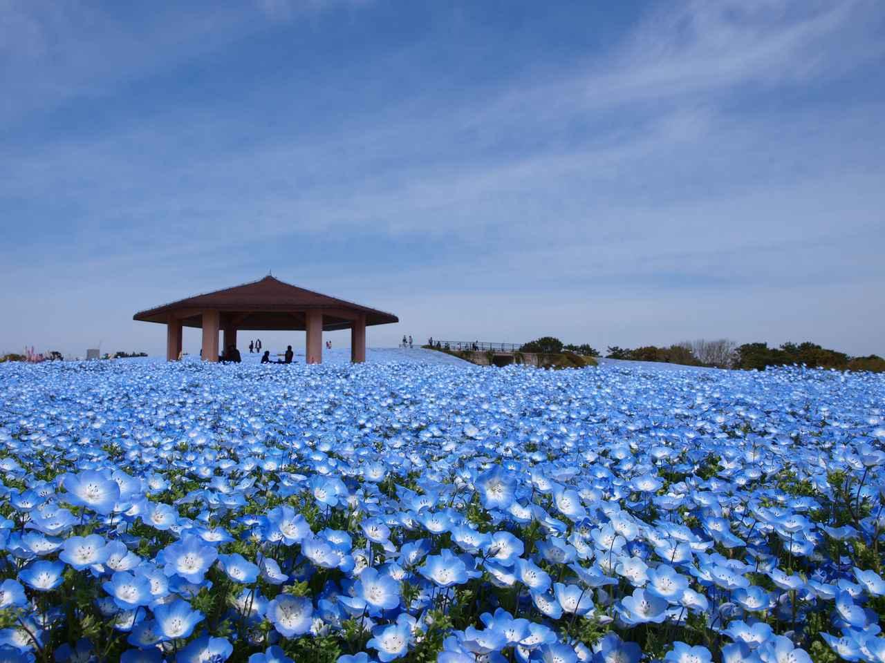 画像: 200万本のネモフィラが咲き誇ります(例年見頃は4月上旬~下旬/海の中道海浜公園提供/イメージ)