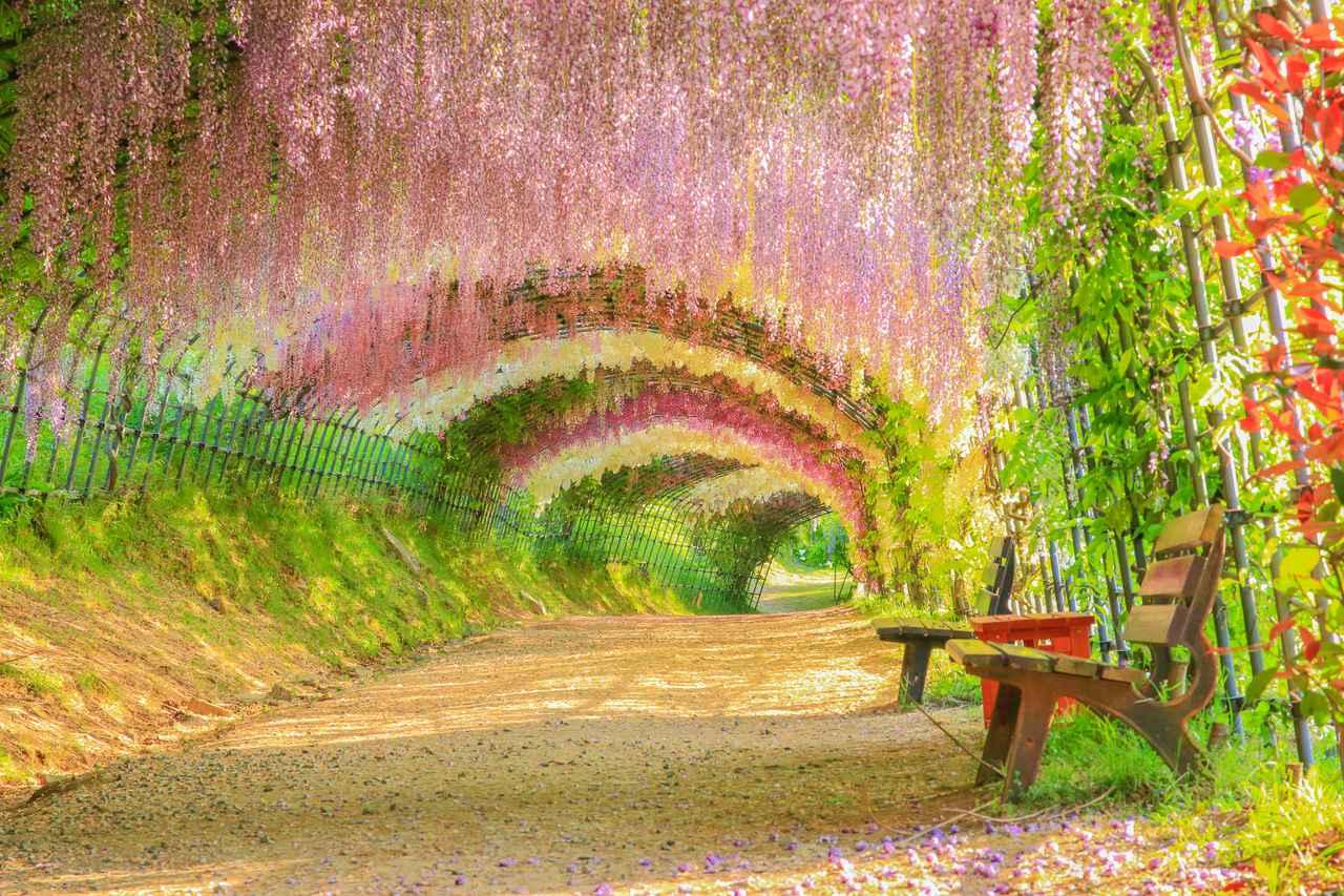 画像: 色とりどりの藤をお楽しみください(例年見頃は4月中旬~5月上旬/イメージ)