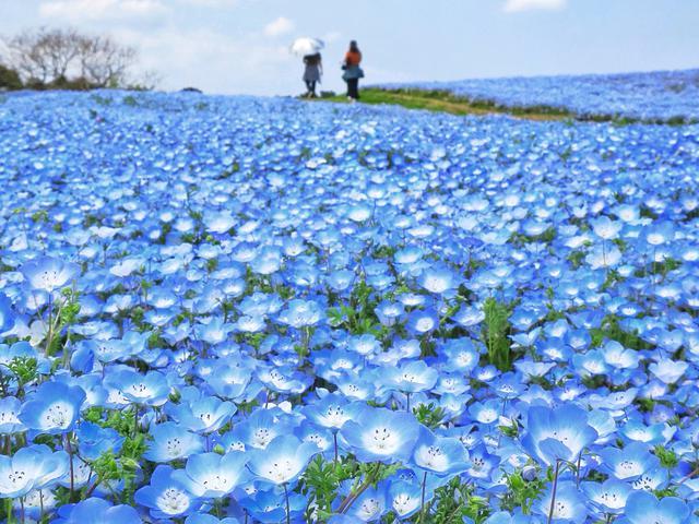 画像: ネモフィラの海(例年見頃は4月上旬~下旬/海の中道海浜公園提供/イメージ)
