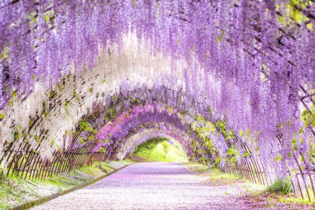 画像: <ウォーキング>『紫・青・ピンクの3色花街道巡り 河内藤園・海の中道海浜公園と大興善寺 花の玉手箱 日帰り』【小倉出発】|クラブツーリズム