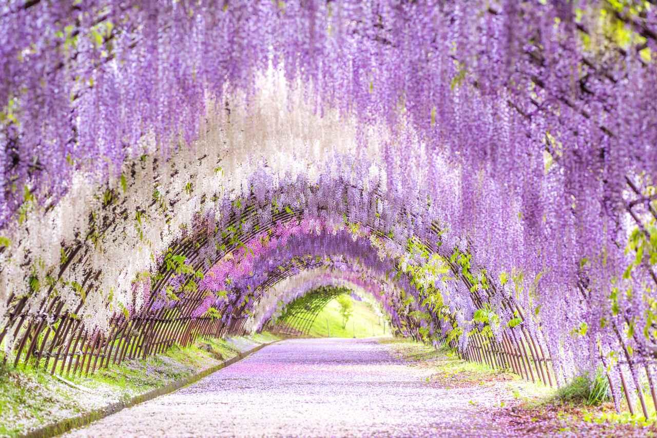 画像: 藤のトンネル(例年見頃は4月中旬~5月上旬/イメージ)