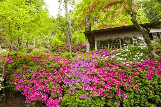 画像: 「つつじ寺」の鮮やかなつつじ(例年見頃は4月下旬~5月上旬/イメージ)