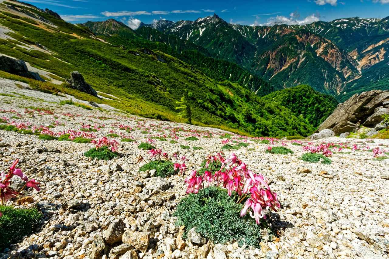 画像: 高山植物の女王・コマクサ(例年見頃は7月上旬~8月上旬/イメージ)
