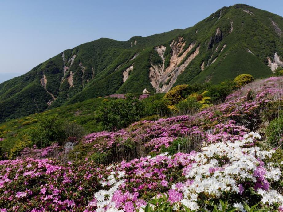 画像: <登山初級B>日本の百名山 九重山と星生山 まるで絨毯のようなミヤマキリシマ群落 日帰り【博多・基山PA 出発】 クラブツーリズム