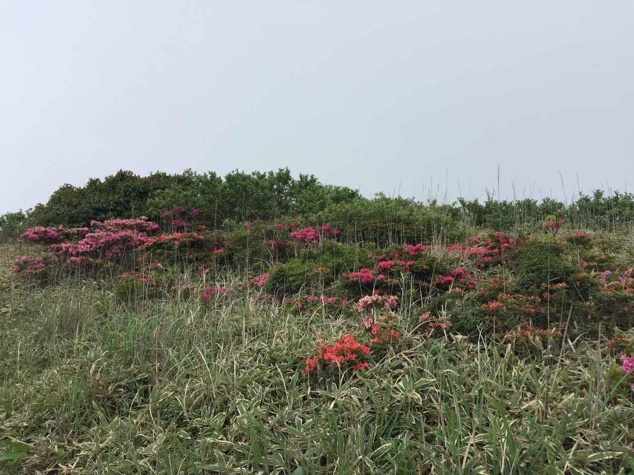 画像: 山頂に点在するミヤマキリシマ(通常見頃は5月下旬~6月上旬/イメージ)