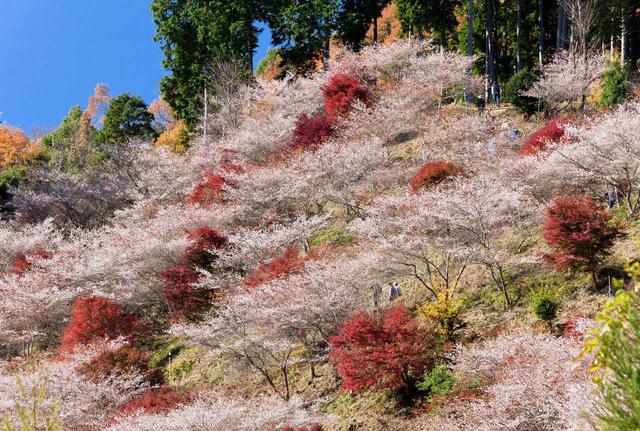 画像: 四季桜(愛知県・豊田市)