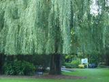 画像: 本場モネの庭にあるものと同じ種類の柳の木が大きく育ち見事です。ヘアカットのようにあえて切りそろえています。これと同じ柳の木がここから高知のモネの庭や浜名湖のガーデンパークの花美の庭にも納められているそうです。