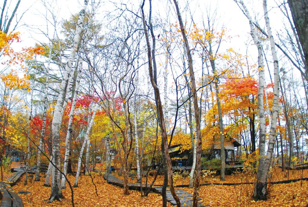 画像: 11月の八ヶ岳倶楽部の雑木林