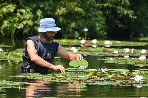 画像: 過去夏ごろの睡蓮の花の管理中の写真(写真借用:北川村 モネの庭マルモッタン)