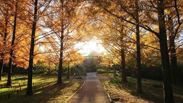 画像: 黄金色に輝く、メタセコイヤの並木。