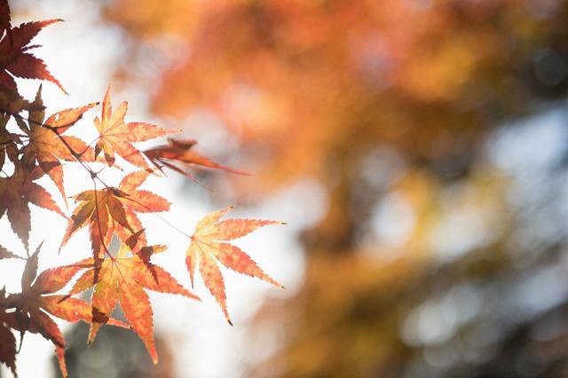 画像: ■出発日 11/18(日)2日間 【東京出発】『1名1室利用 紅葉の湖東三山と新・日本の街路樹百景メタセコイヤ並木2日間』コース情報:1名1室利用|クラブツーリズム