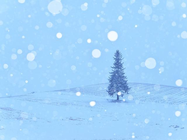 画像: クリスマスツリーの木(撮影/高橋真澄)