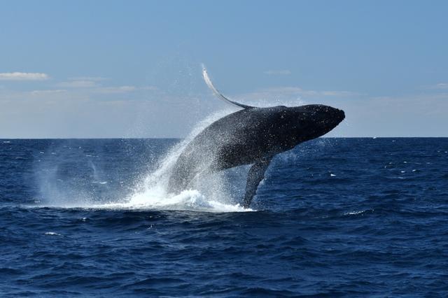 画像: ■出発日:2019年3月10日(日) 『一度は行ってみたい憧れの景色 慶良間諸島・座間味のザトウクジラ』3日間【羽田出発】コース情報:24名限定|クラブツーリズム