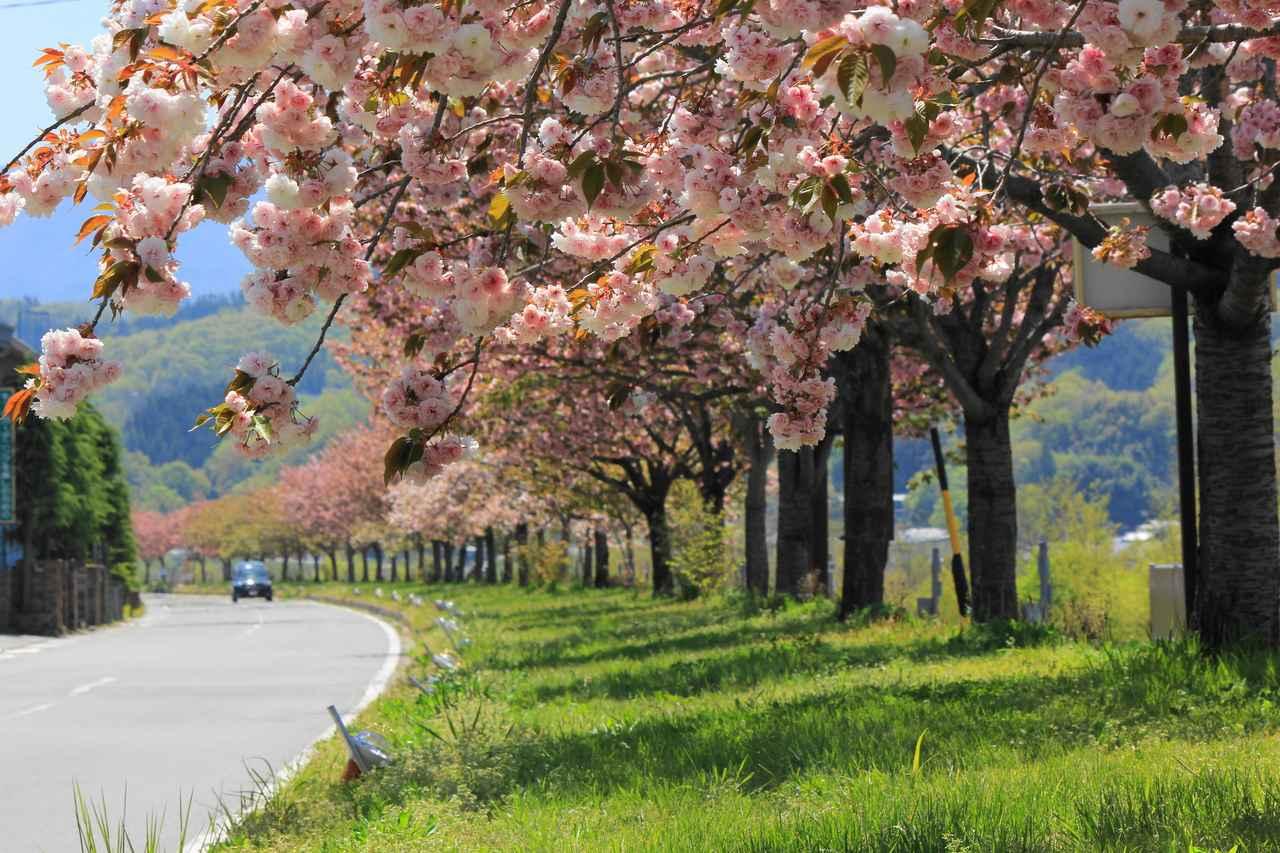 画像: 桜守・森田さんが植えた様々な種類の桜が連なる天竜峡八重桜街道