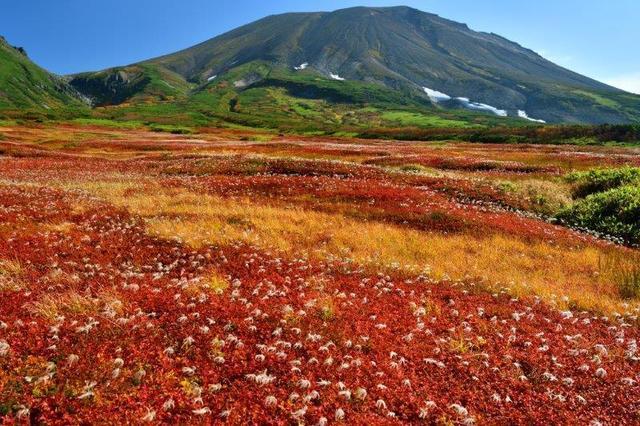 画像: 紅葉の大雪山 裾合平のチングルマ紅葉の大群落 3日間【中部出発】<ハイキング初級>