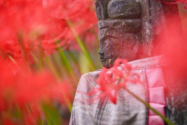 画像: 津屋川堤防と明星輪寺の境内に広がる真っ赤な絨毯の彼岸花 日帰り