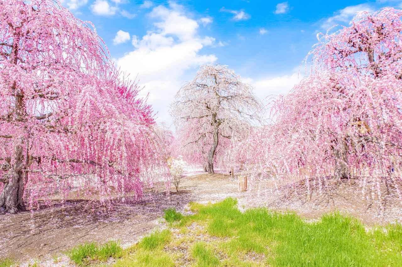 画像1: 鈴鹿の森庭園 しだれ梅
