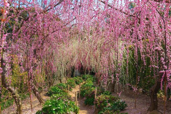 画像: <こだわりの花めぐり>『華やかな3つのしだれ梅めぐりと早春のはままつフラワーパーク 2日間』【東京発】|クラブツーリズム