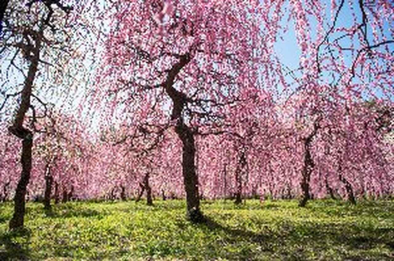 画像2: 名古屋市農業センター 見頃 2月下旬~3月中旬