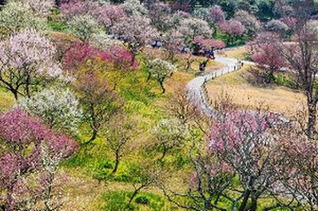 画像: はままつフラワーパークの花梅 見頃 2月下旬から3月上旬