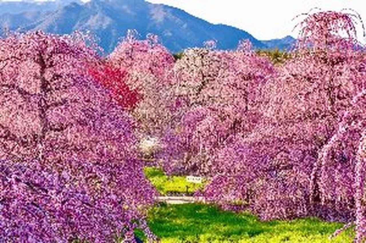 画像2: 鈴鹿の森庭園 しだれ梅 見頃 2月下旬~3月下旬