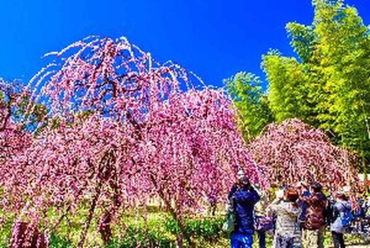 画像1: 名古屋市農業センター 見頃 2月下旬~3月中旬
